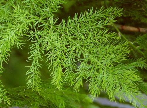Шатавари растение
